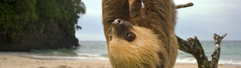 Corcovado Three-Toed Sloth
