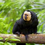 White Faced Saki Monkey Amazon Basin Brazil