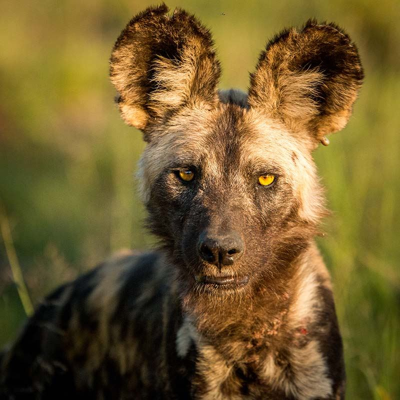 Madikwe South Africa Safari Cape Town Malaria Free Wild Dogs Lions