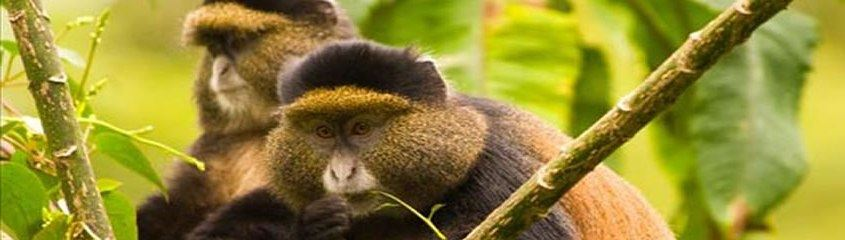 Gorilla tracking and Golden monkeys in Rwanda