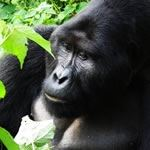 Gorilla Safaris Rwanda Gorillas Masai Mara Safari Holiday Vacation