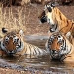 Photo Tiger Safari Pench Tadoba Goa Mumbai