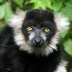 See black and white ruffed lemur on a Mauritius and Madagascar holiday