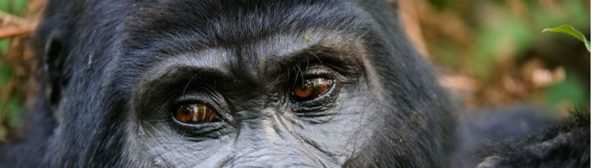 Uganda Safari Holidays Uganda Holidays Gorillas Chimpanzees Tours