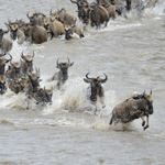 Photo Safari In Serengeti Tanzania Grumeti River Wildebeest Migration Crossings