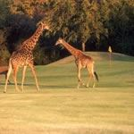 Golf Kruger National Park South Africa Leopard Creek Golfing Safari