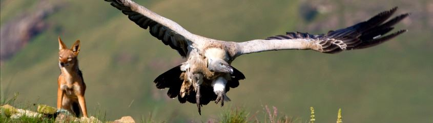 KwaZulu Natal holidays - close up of  a vulture and jackal in the Drakensberg Mountains