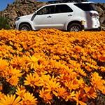 Namaqualand Wildflowers South Africa Whale Watching Cape Town