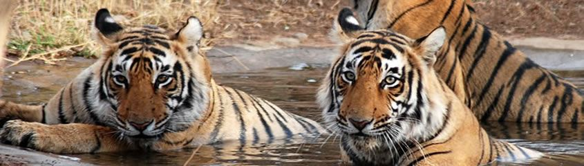 Tiger Safari India Bandhavgar Kanha Pench Panna