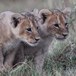 Lion Cubs Disabled Safari Kenya Wheelchair Accessible Diani Beach Mombasa