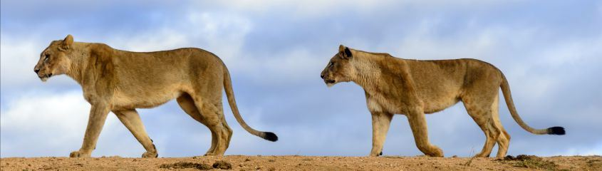 See lion on a Madikwe Safari and combine with a Sun City holiday
