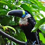 Colombia Birding Tours Photo Tayrone Amazon Panama Canal