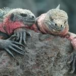 ecuador and galapagos islands cruise holiday - see land and marine iguana